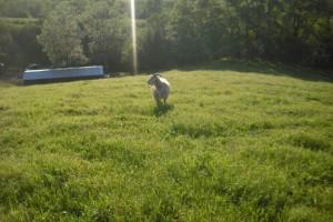 pascoli-capre-cashmere_W