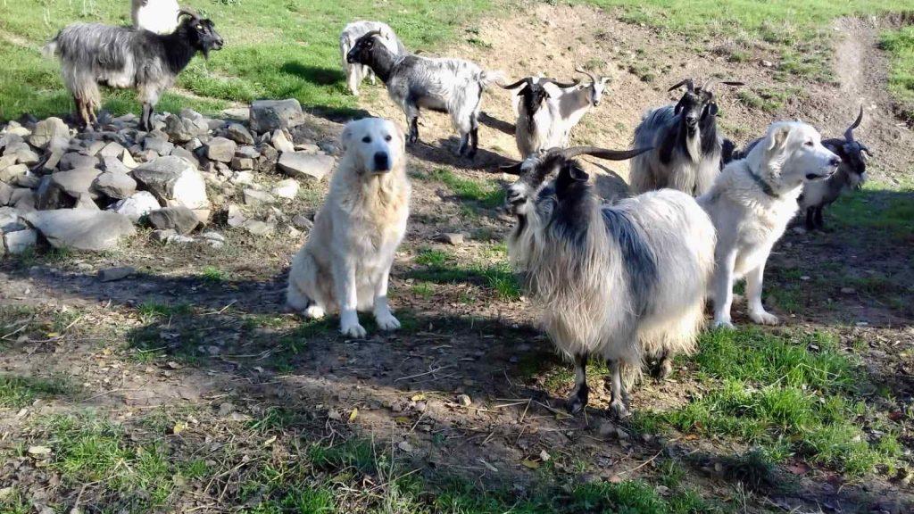 Cani Guardiania e Capre Cashmere
